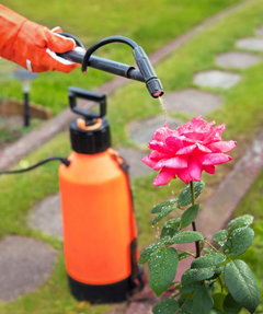 A person spraying insecticide on a rose bush