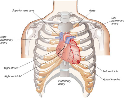 diagram of heart showing top to bottom superior vena cava, aorta, right and left pulmonary arteries, left and right ventricles, right atrium and apical impulse at bottom left