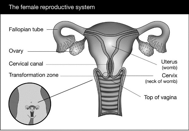 Illustration of the female reproductive system