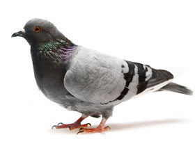 feral pigeon control